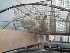 chickens over aquaponics system - maybe too much nutrients - use chickens over larger area to grow aquatic vegetation to feed to tilapia