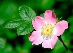 Risultati immagini per rosa canina fiore