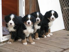 puppies six weeks old | Flickr - Photo Sharing!