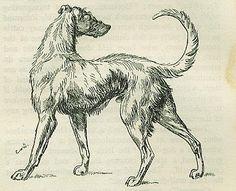 Irish Wolf-hound (1803)