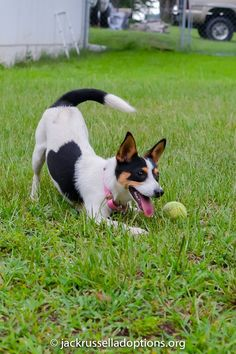 Adoptable Jack Rat Terrier, Renny | Georgia Jack Russell Rescue, Adoption and Sanctuary