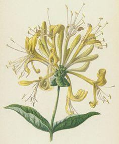 Honeysuckle Drawing - Honeysuckle by Frederick Edward Hulme
