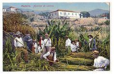A Madeira na rota do açúcar