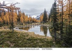 Larch trees in Simpson Pass, Banff National Park, Alberta, Canada