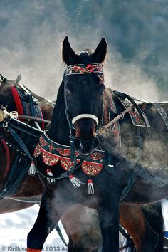 Beautiful black horse in colorful festive harness with tassels. Snowy background and smokey horse's breath. All The Pretty Horses, Beautiful Horses, Animals Beautiful, All About Horses, Big Horses, Black Horses, Horse Costumes, Draft Horses, Horse Photography