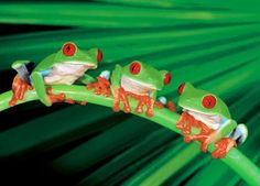 Google Image Result for http://www.sylviarouss.com/wp-content/uploads/2011/03/anonymous-three-red-eyed-frogs-5000.jpg