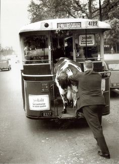 Cow on the trolley