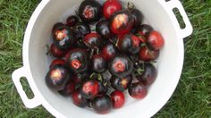"TOMATE ""Azul de Arizona"" schwarze Früchte,sehr würzig,lecker,unreif blaue Frucht de.picclick.com"