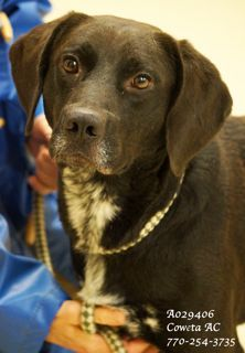 ****LOVABLE LAB****B-1 EXTREMELY URGENT! Lab Retriever Mix Male 4 years •ID: A029406 •Vaccinated, Heartworm NEGATIVE *PLEASE CONTACT COWETA COUNTY ANIMAL CONTROL TO ADOPT THIS PET: 770-254-3735. The address is 91 Selt Road, Newnan, GA. What a sweetheart! He has a long body and shorter legs....very cute. Easy going & well-mannered. Extremely quiet. He is not energetic and enjoys being petted and receiving attention.