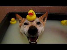 きなこ(♂)温泉に浸かる - YouTube   Aww... I love hot spring water too :)