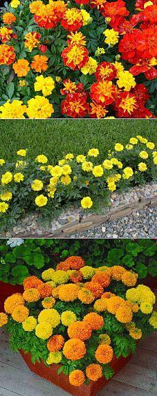 Как вырастить бархатцы из семян на участке