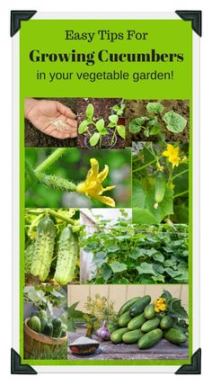 4 Easy tips for growing sweet delicious cucumbers in your vegetable garden. Use our free online Vegetable Garden Planner, zone chart, planting guide, and worksheets to plan a successful garden this year!