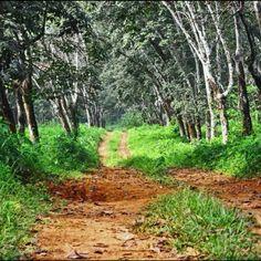 Firestone rubber plantation in Liberia.