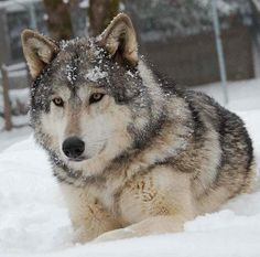 pics of wolves   Wolf Web – the home of wolves!   Wolf Web – Information, photos ...