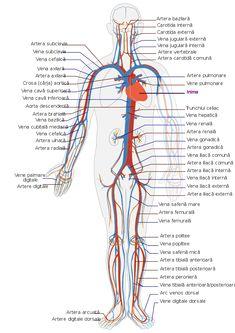 Bad Circulation, Improve Circulation, Subclavian Artery, Internal Carotid Artery, Human Body Activities, Physical Activities, Arteries And Veins, Human Body Anatomy, Gross Anatomy