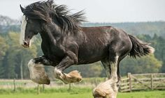 Heavy duty: The Clydesdale gives itself a workout before the annual heavy horse festival