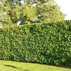 reasons to choose Cherry Laurel hedging Cherry Laurel hedgeCherry Laurel hedge Leylandii Hedge, Ficus Hedge, Rose Hedge, Hedge Trees, Flower Hedge, Evergreen Hedge, Bamboo Hedge, Privet Hedge, Cherry Laurel Hedge