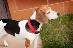 Eris - 6 Years Old Spayed Female Beagle. Eris was surrendered to the shelter because the previous owner no longer had time for her. Loves to give kisses; Super friendly; Enjoys her daily walks and playtime; especially tug-of-war. Adoption fee: $260