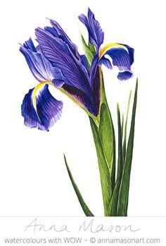 "Spring Iris © 2007 ~ annamasonart.com ~ 23 x 31 cm (9"" x 12"")"