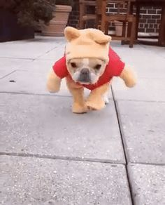 French Bulldog Dressed as Winnie the Pooh - Chloe the Mini Frenchie, gif, please click image if it's not working ; )
