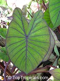 Colocasia esculenta , Black colocasia, Black Magic, Taro, Black Elephant Ear, Malanga Amarillo, Dasheen - var. Blue Hawaii  Click to see full-size image
