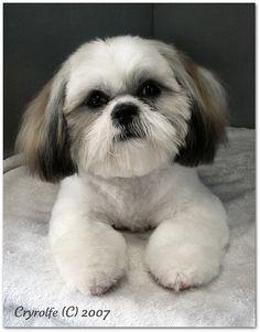 interesting photos from Shih Tzu Hairdressing & Grooming Styles pool Chien Shih Tzu, Shih Tzu Hund, Shih Tzu Puppy, Shih Tzus, Shitzu Puppies, Havanese Dogs, Puppies And Kitties, Doggies, Hound Puppies