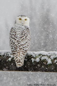 Beautiful Snow White Owl!