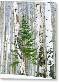 A lone pine tree grows in a Winter Aspen Forest Flor Magnolia, Pine Trees Forest, Birch Trees, Birch Forest, Snow Trees, Snow Forest, Evergreen Trees, Lone Pine, Aspen Trees