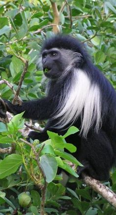 Colobus Monkey-these are the monkeys at our Woodland Park Zoo that hoot and holler!