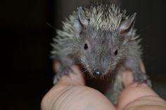 Live Miniature Animals | Tenrecs Are Like Mini-Hedgehogs