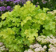 Lime Ruffles Coral Bells - Large, ruffled lime green leaves add garden color from spring to fall. This heat tolerant variety forms a rounded mound and is suitable for the garden or containers. White flower spikes in summer.