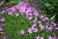 Creeping flox. We have 3 or 4 colors on our front bank.  Blooms early after the tulips.