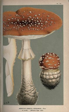 Agaricus muscarius. Illustrations of British Fungi (Hymenomycetes) v.1  London Williams and Norgate1881-91  Biodiversitylibrary. Biodivlibrary. BHL. Biodiversity Heritage Library