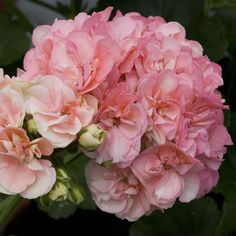 Geranium 'Blushing Sophie'  Pelargonium, love them. They never let you down, less effort, great result.