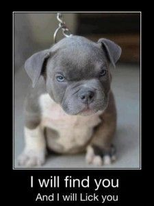 Pit Bull puppy is determined