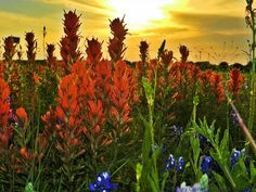 Indian paintbrush & a pretty sunset!