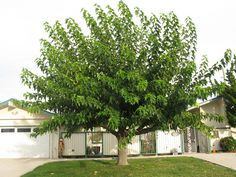 , Great large shade tree for front or back yard. Fruitless Mulberry , Great large shade tree for front or back yard. Garden Trees, Trees To Plant, Patio Gazebo, Backyard, Outdoor Plants, Outdoor Gardens, Short Trees, Wisteria Tree, Baumgarten