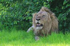 Male lion sighting with Robin Pope Safaris -- Emerald Season River Journey Safari   Photo credit: Mike Unwin