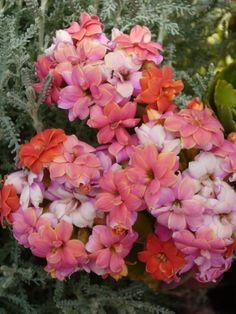 Megtaláltuk a korallvirág virágzásának titkát | Balkonada Floral Wreath, Plants, Gardening, Beautiful Roses, Floral Crown, Lawn And Garden, Plant, Flower Crowns, Planets