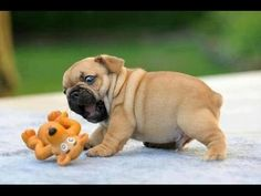 Best Cute & Funny Puppies Compilation 2014 - Cuteness Overload! The first 40 seconds of video is fluff ball cuteness.