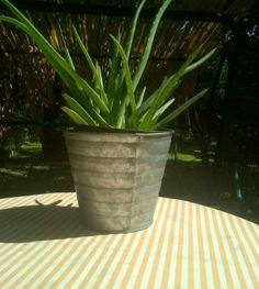 το φυτό Αλόη