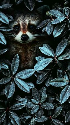 iPhone and Android Wallpapers: Racoon Window Wallpaper for iPhone and Android animal animals background iphone wallpaper wallpaper iphone you didn't know existed planet animal drawings and white animal photography animals baby animals animals animals Tier Wallpaper, Animal Wallpaper, Seagrass Wallpaper, Paintable Wallpaper, Windows Wallpaper, Emoji Wallpaper, Colorful Wallpaper, Fabric Wallpaper, Fall Wallpaper