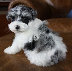 Standard Merle Schnauzer colors, Blue Merle Schnauzers and Chocolate Merle Schnauzers Black Pug Puppies, Cute Puppies, Cute Dogs, Miniature Schnauzer Puppies, Schnauzer Puppy, Schnauzers, Standard Schnauzer, Silly Dogs, Most Popular Dog Breeds