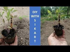 Am plantat rasadurile de rosii in gradina mea I planted tomato seedlings in my garden - YouTube Rose, Garden, Youtube, Plants, Instagram, Pink, Garten, Lawn And Garden, Gardens