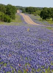 only in Texas, bluebonnets <3