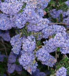 Ceanothus 'Frosty Blue' is an evergreen mountain lilac that grows to six or eight feet tall and about as wide.