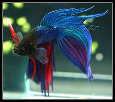 Betta Splendens. I had one just like this. Extremely dominant, but what a beauty!