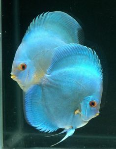 High Body Blue Diamond Discus Fish