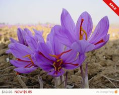 Saffron Plant Bulbs - Rare Spice Crocus Sativus- Grow One of the World's Most Expensive Spice In Your Own, Now shipping !