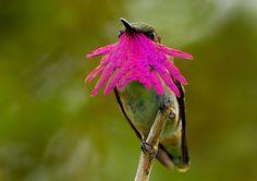 colibri-elliot-col-rose sur DGS